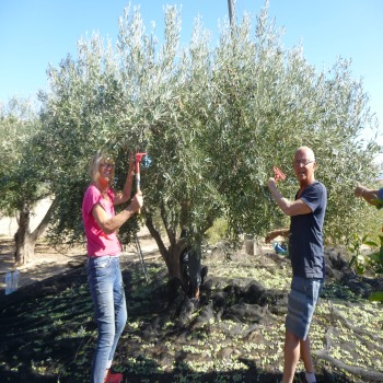 Olive Picking 2016 at Finca Arboleda