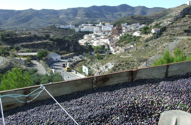 Things To Do In Almeria-Olives At Lubrin