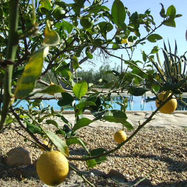 Lemons In The Garden At Finca Arboleda