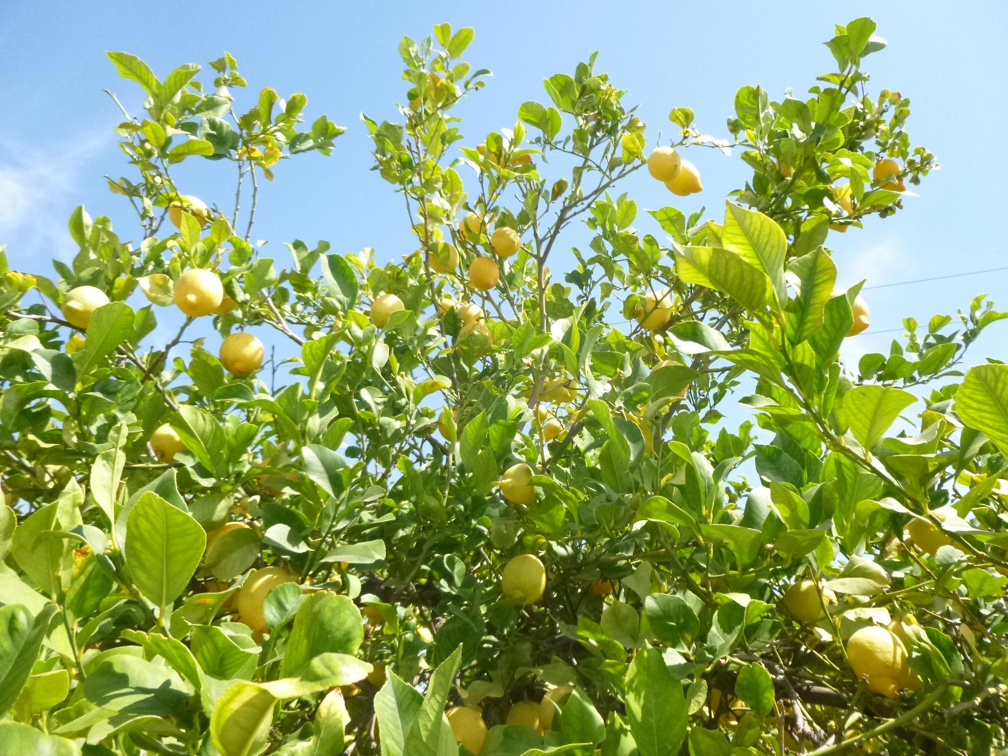Finca Arboleda Lemons